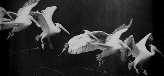 marey_pelican.jpg